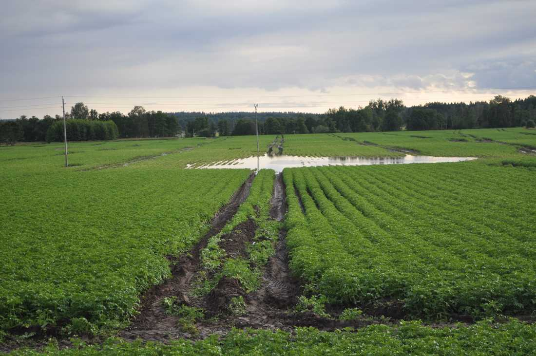 Potatisfält i Målilla.