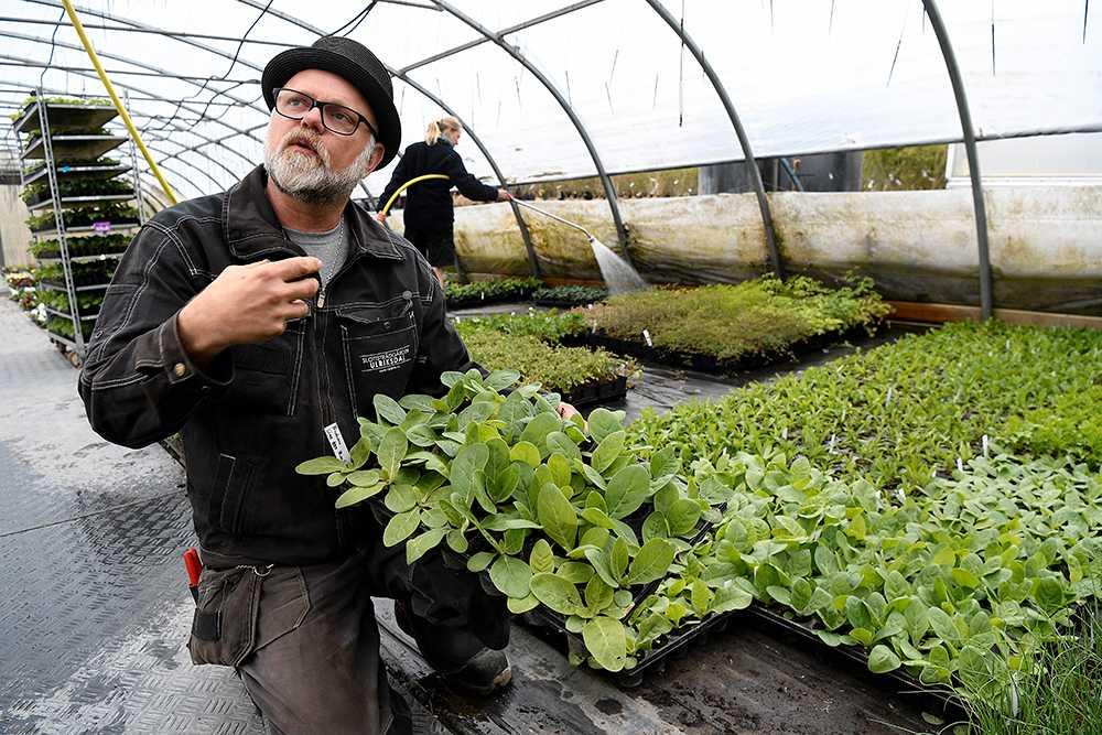 Förläng odlingssäsongen genom att förkultivera plantorna inomhus.