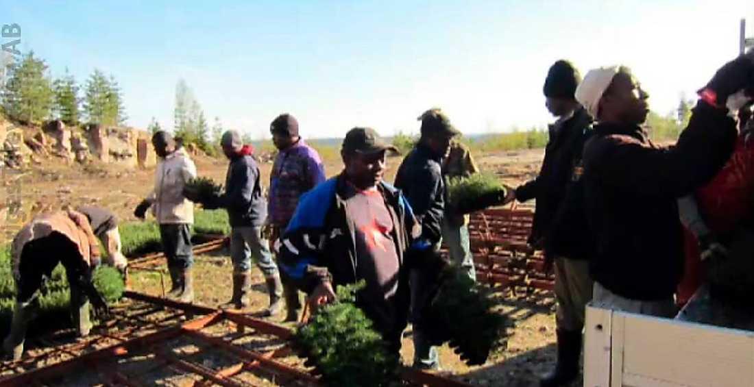Utnyttjade Skogsarbetarna från Kamerun lurades av sin svenska arbetsgivare.