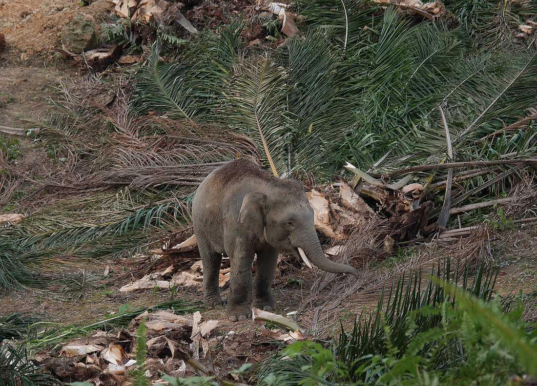 Dvärgelefant som undersöker palmbladen som ligger kvar efter att arbetarna på plantagen lämnat platsen. Delar av bladen konsumeras villigt av elefanterna.