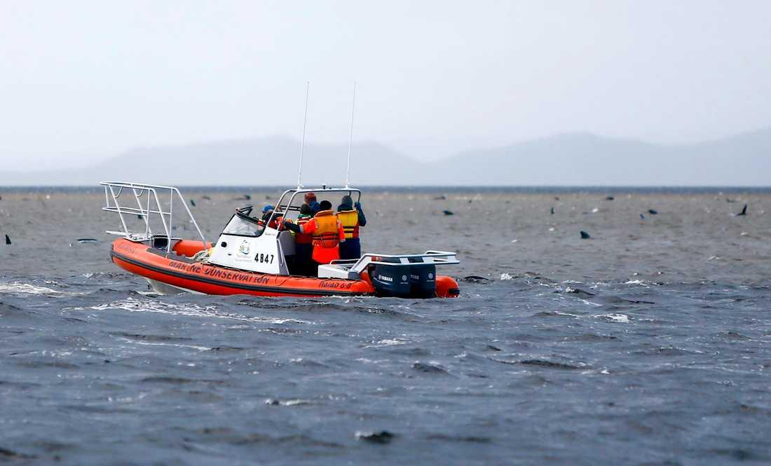 Räddningsarbetare undersöker de strandade grindvalarna.
