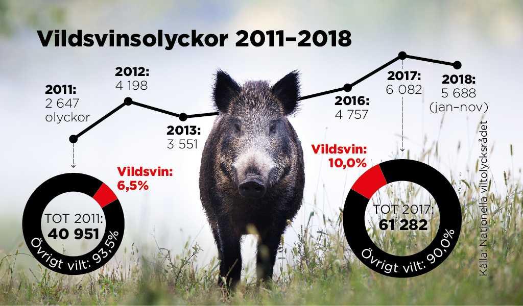Vildsvinsolyckor ökar rejält i takt med att svinen blir fler i raslig fart – under åren 2010-2017 ökade antalet vildsvinsolyckor med knappt 150 procent. Från 2445 till 6082 stycken. Fram till slutet av november i år var siffran 5688 stycken.