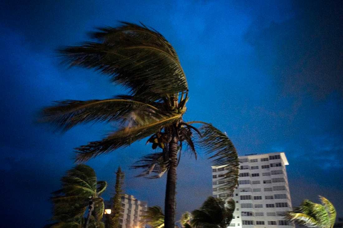 Starka vindar blåser i palmerna i Freeport på ön Grand Bahama.