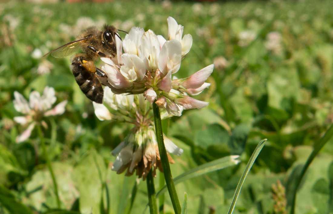 Pollinerare besöker en blommande vitklöver. Arkivbild.