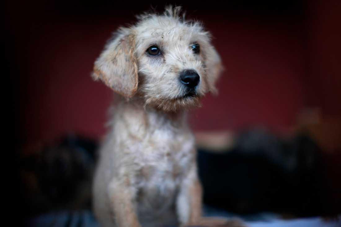 Att ta hand om en herrelös hundvalp i länder där rabies förekommer kan vara riskabelt. En ung norsk kvinna dog efter att ha tagit hand om en valp i Filippinerna. Arkivbild