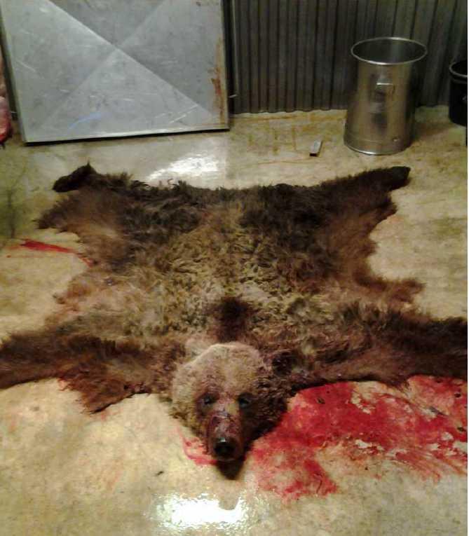 En av de björnar männen dödat.