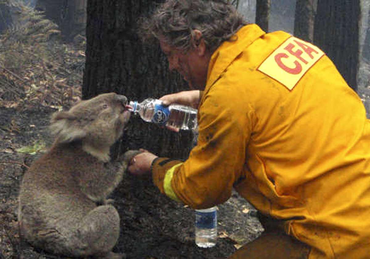 Törstig Räddningsarbetare David Tree ger koalan vatten att dricka.