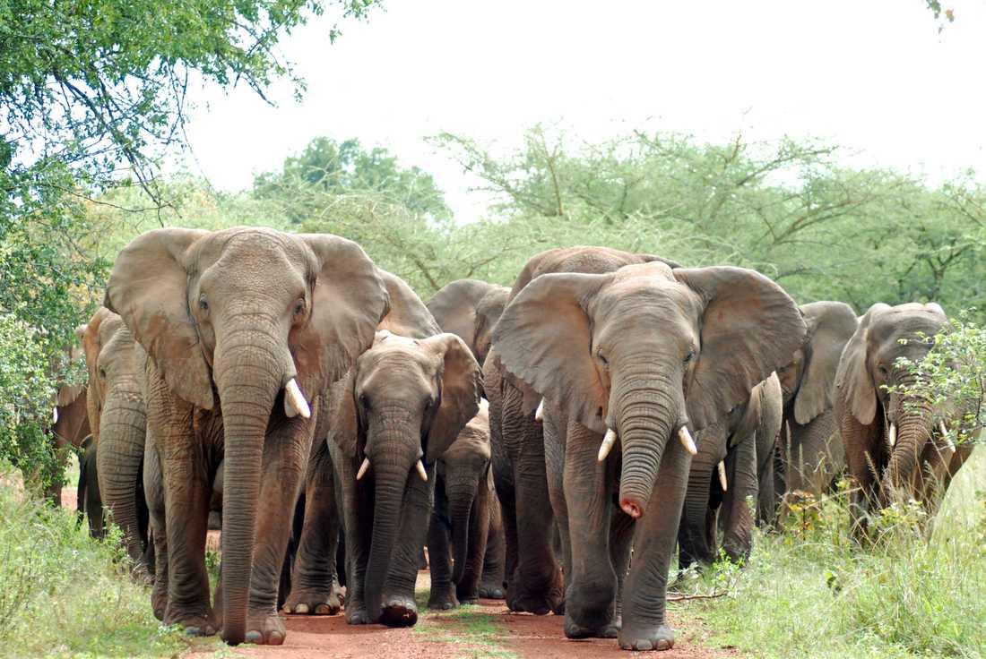 En man har dömts till 30 års straffarbete för tjuvjakt, främst på elefanter, i Kongo-Brazzaville. Arkivbild.