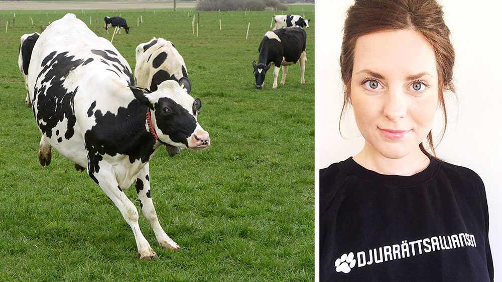 Mjölkindustrin är hjärtskärande, fel och oetisk. Vi människor har skapat ett system som utnyttjar och dödar tänkande och kännande individer på löpande band. Så, fundera en gång till innan du väljer att titta på livesändningen av ett kosläpp, skriver Malin Gustafsson, Djurrättsalliansen.