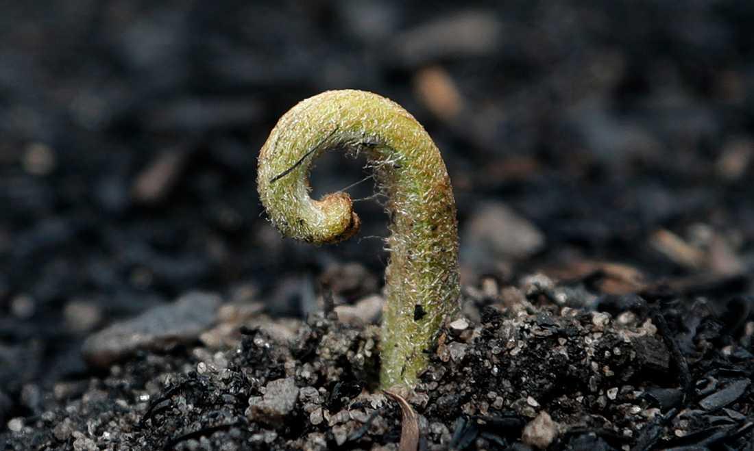 En planta gror ur den av bränder svedda marken i Nattai i New South Wales.