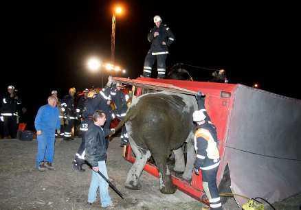 på väg ut Det krävdes ett stort uppbåd för att baxa ut elefanten.