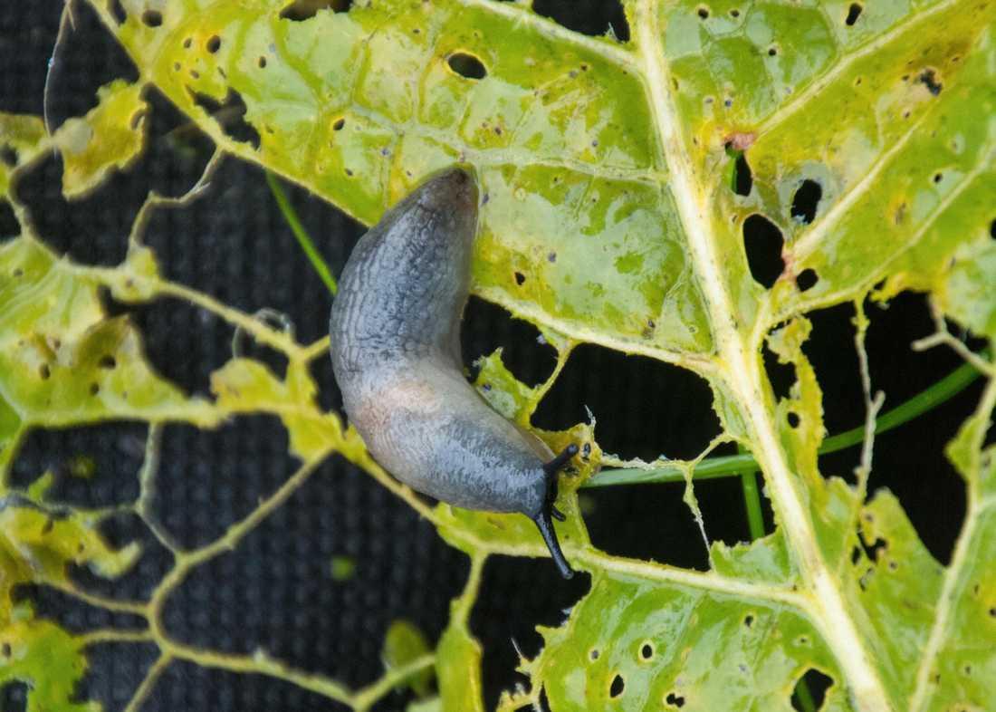 Den svarthövdade kaukasiska snigeln på ett perforerat pepparrotsblad hemma hos Solveig Wadelius.