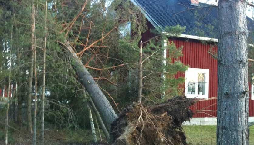 Fällda träd i Delsbo i Hälsingland.