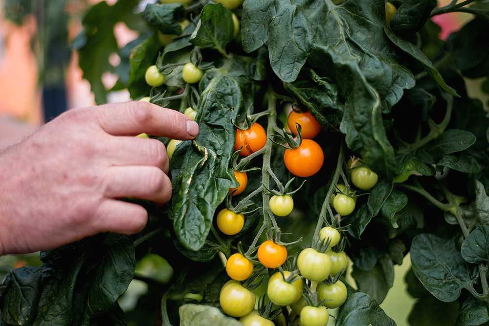 Finns få saker som smakar så bra som egenodlade grönsaker kryddade med lite stolthet.