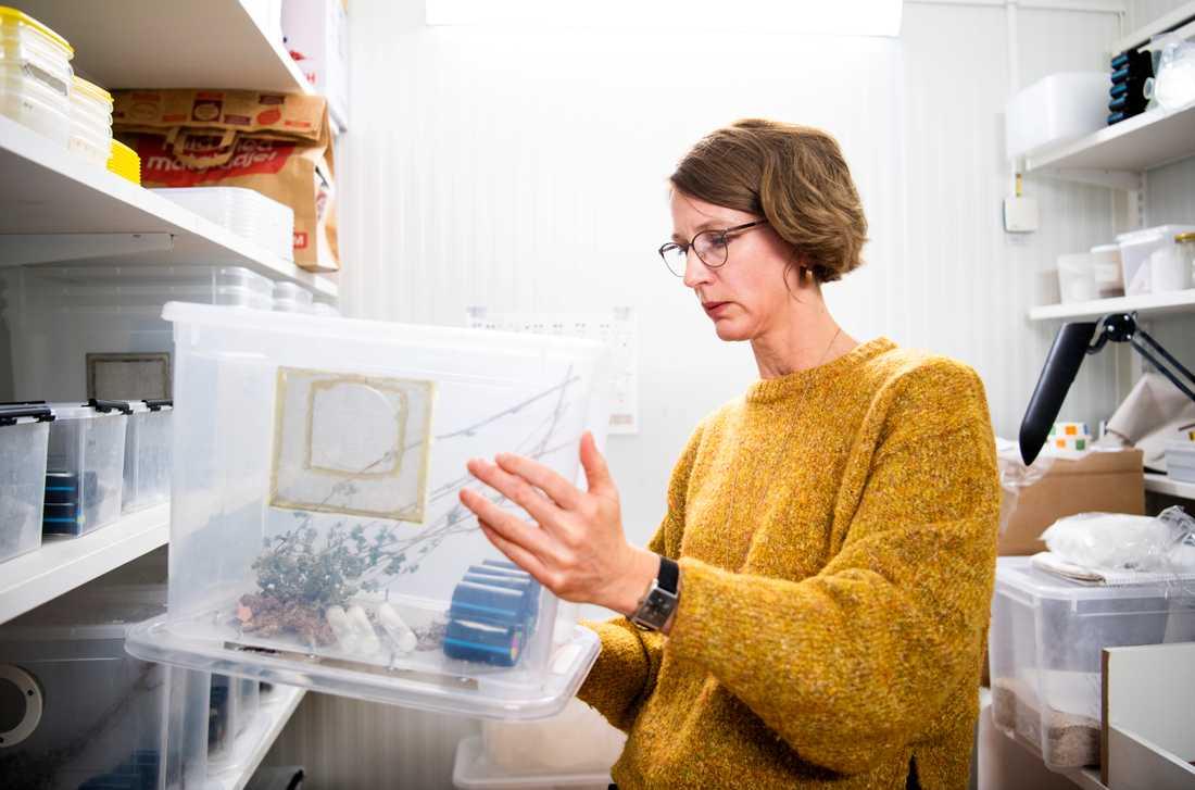 Sofia Boqvist, docent i infektionsepidemiologi vid Sveriges lantbruksuniversitet, kontrollerar att syrsorna mår bra.