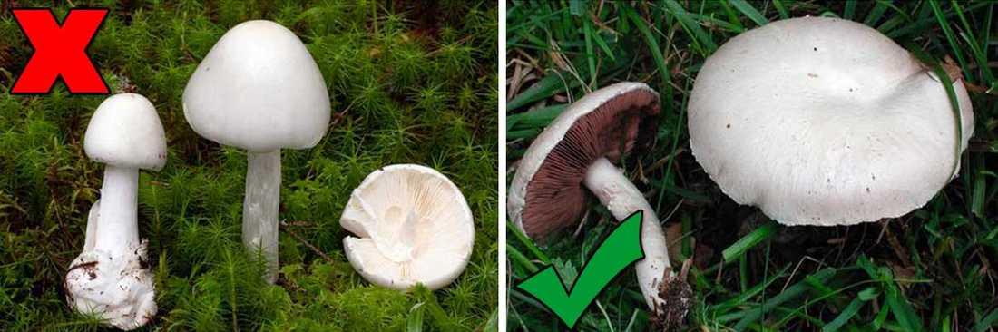 Giftig: Vit flugsvamp (till vänster) Matsvamp: Champinjon eller vit skivling (Ängschampinjon till höger) – Vit flugsvamp kan lätt förväxlas med både champinjoner eller vit skivling om man inte är noggrann.