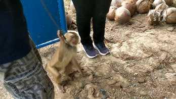 Djurrättsorganisationen har besökt åtta gårdar där apor tvingas att plocka kokosnötter