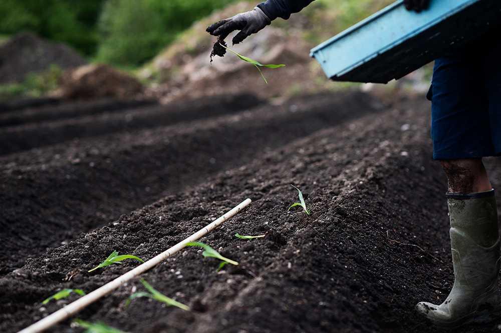 Plantera i upphöjda bäddar är ett bra sätt att se till att man har tillräckligt djupa odlingsbäddar.