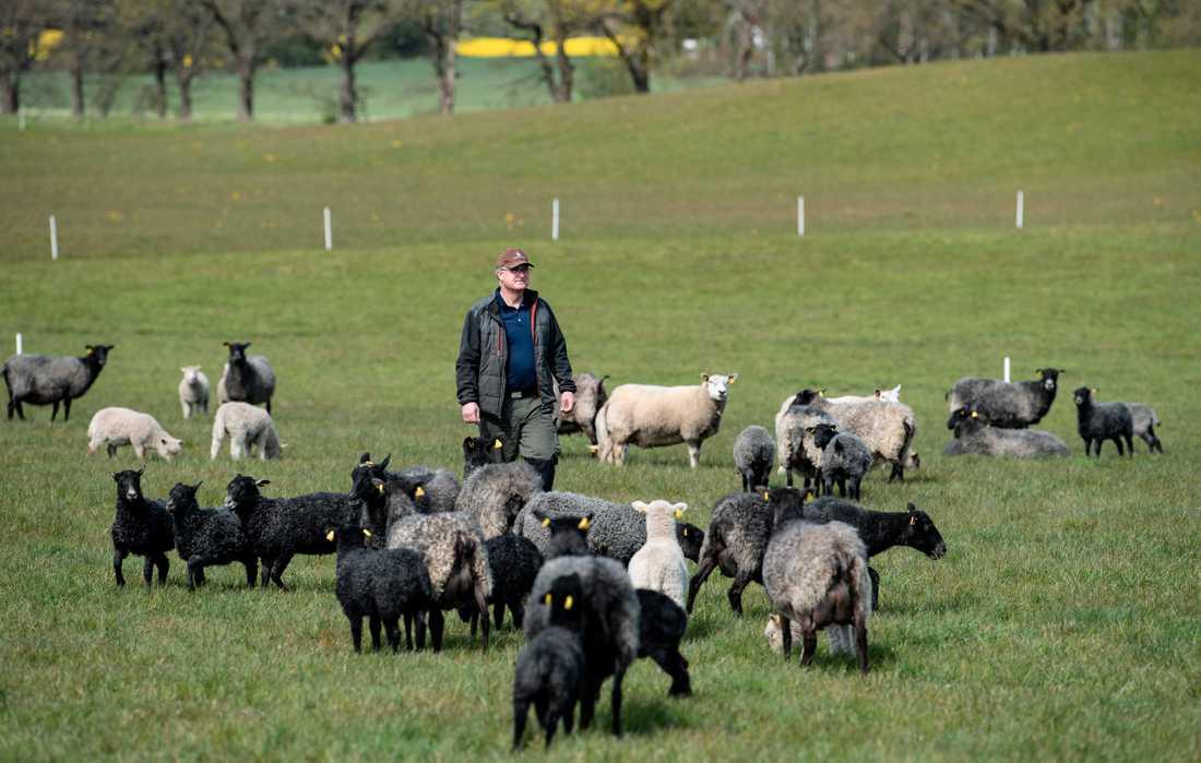 Familjeföretaget som Jörgen och Piamaria Rasmusson driver har i nuläget 400 tackor och föder upp 700 lamm. Efter torkan 2018 fick paret dra ner på sin besättning, men det finns kapacitet för 625 tackor och uppfödning av 1000 lamm per år.