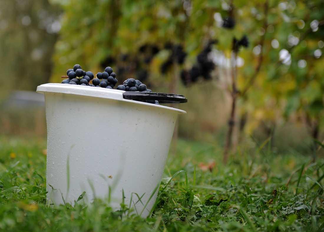 Den nordligaste vinproducenten finns i dag i Flen i Södermanland. Det vill en producent i Uppsala ändra på. Arkivbild från en annan svensk vingård.