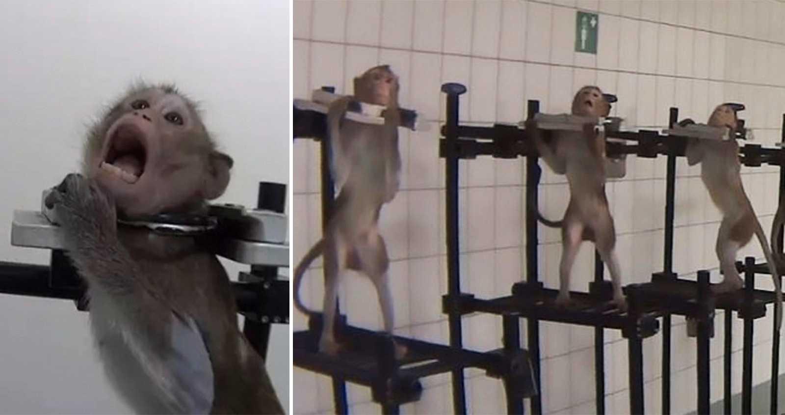 Aporna skriker i desperation – bilderna avslöjar fruktansvärda djurförsök i tyskt laboratorium