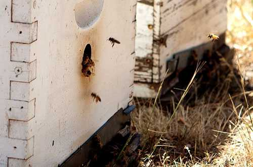 """Biodlare världen över tvingas se sina bin dö. Forskarna tvistar om orsaken, men debattörerna menar att kemikalierna i jordbruket ligger bakom den """"tysta"""" katastrofen."""