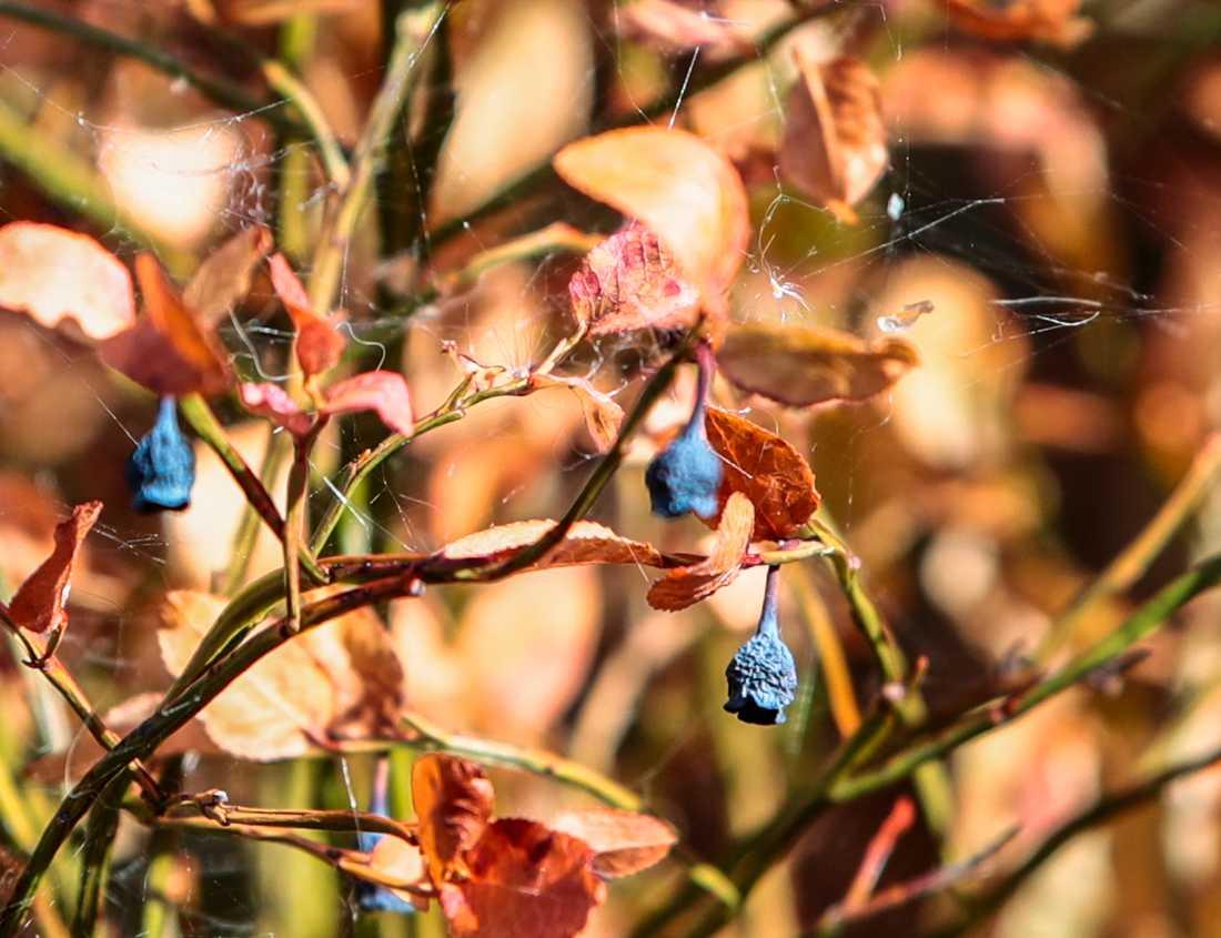 Förra sommarens värmebölja torkade ut blåbärsrisen. Arkivbild.