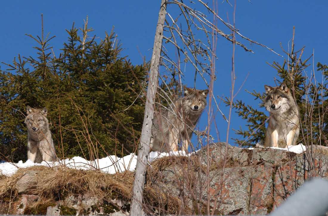 Vargar i Orsa rovdjurspark. Arkivbild från 2003.