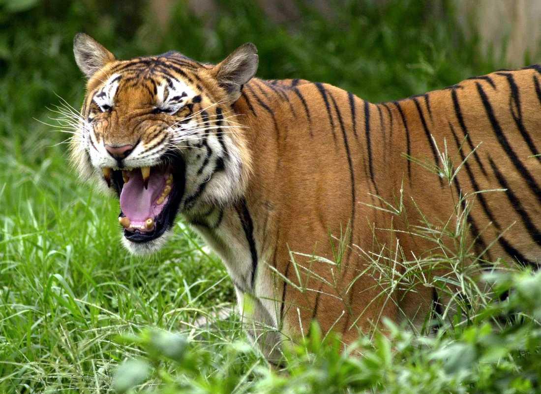 Den bengaliska tigern i Bangladesh är en av de största tigerarterna. Arkivbild.