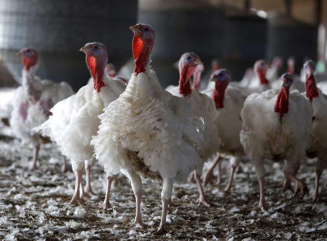 Fågelinfluensan H5N8 har upptäckts på en kalkongård i norra England. Arkivbild.