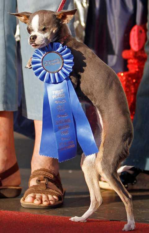 Världens fulaste hund går ärevarv efter vinsten.
