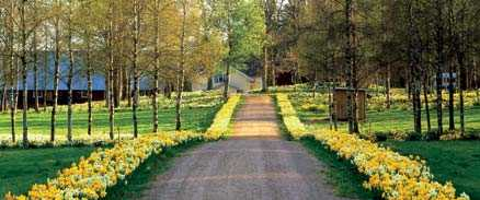 EN allé av VÅrBLOMMOr Vägen upp mot Fagerås gård är en upplevelse i sig. Men underbart är kort. Om våren blir varm kan prakten vara över på tio dagar.