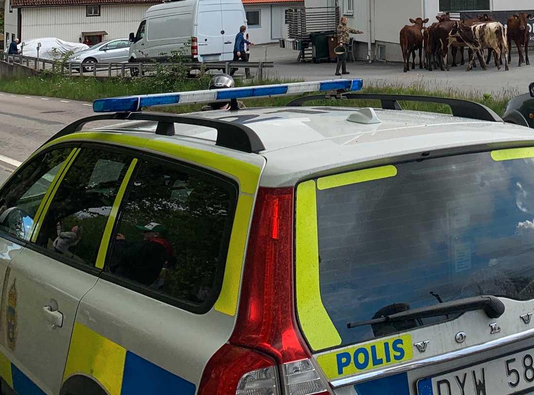 Korna dök upp under polisinsatsen.