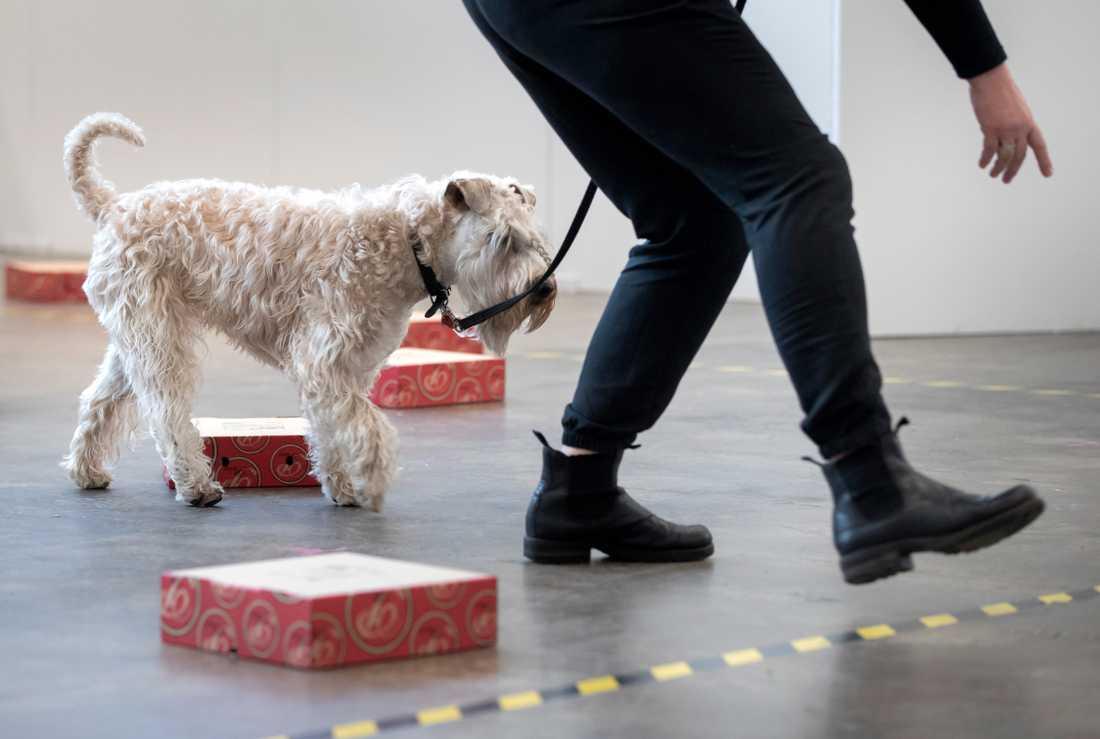 Hundar från Norge får inte delta i svenska utställningar på grund av sjukdomen som upptäckts i Norge. Arkivbild.
