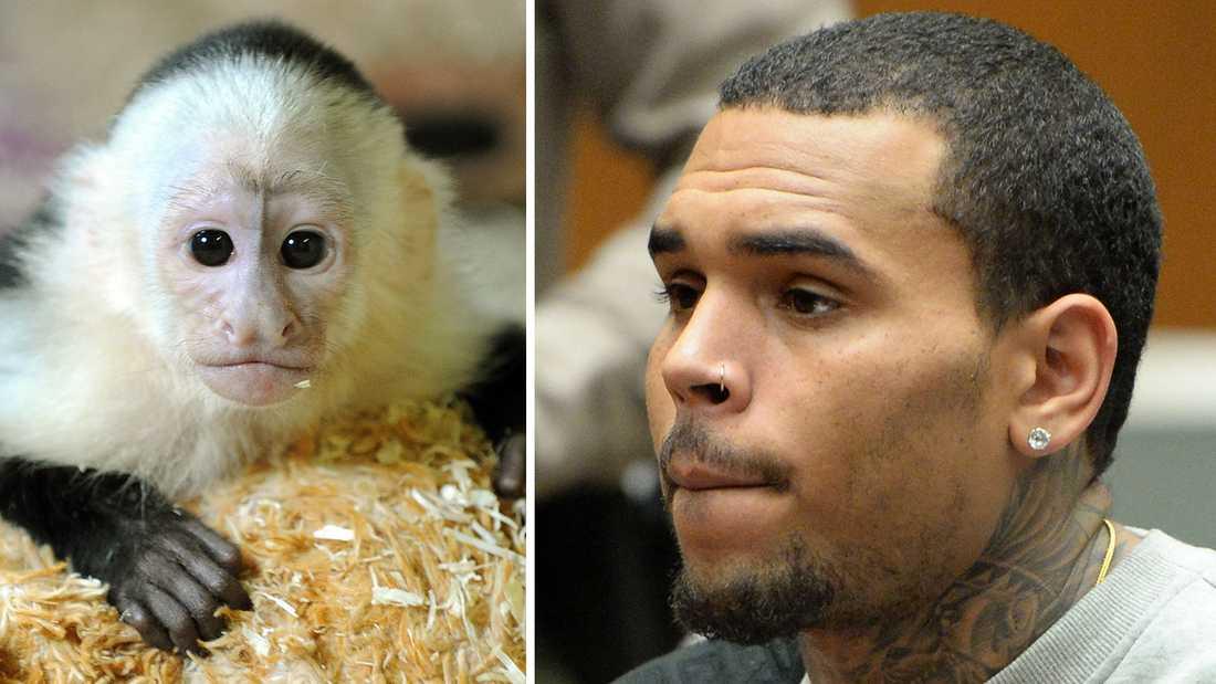 Chris Brown är inte ensam om att gilla aport. Till vänster syns Justin Biebers kapucinapa Mally, som lämnades över till tyska myndigheter efter att Bieber inte haft tillstånd att föra in apan i landet när han var på Europaturné.