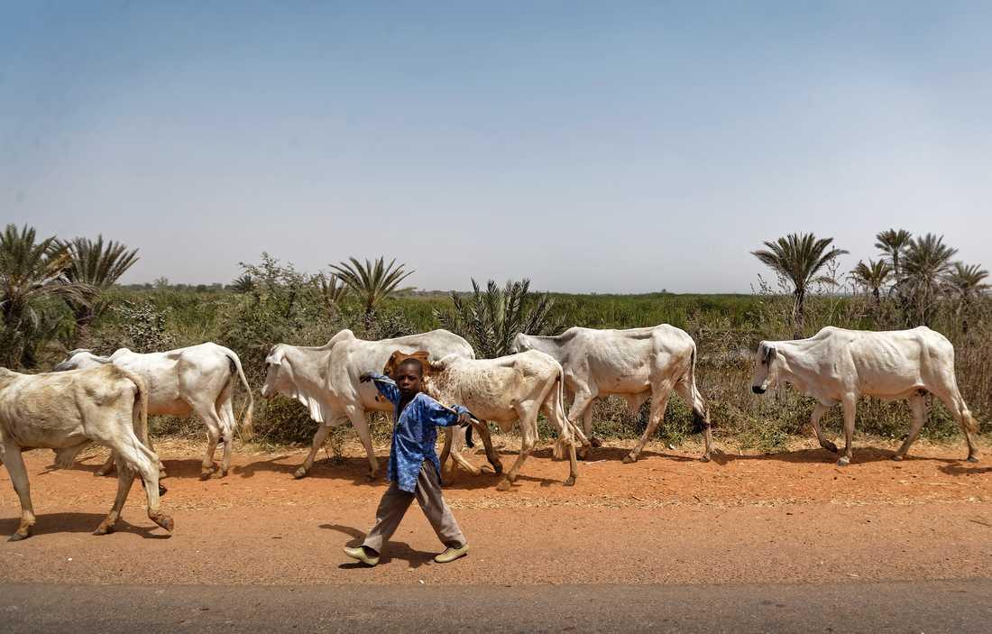 En pojke vaktar boskap i Nigeria. Bilden har inget med händelsen att göra. Arkivbild.