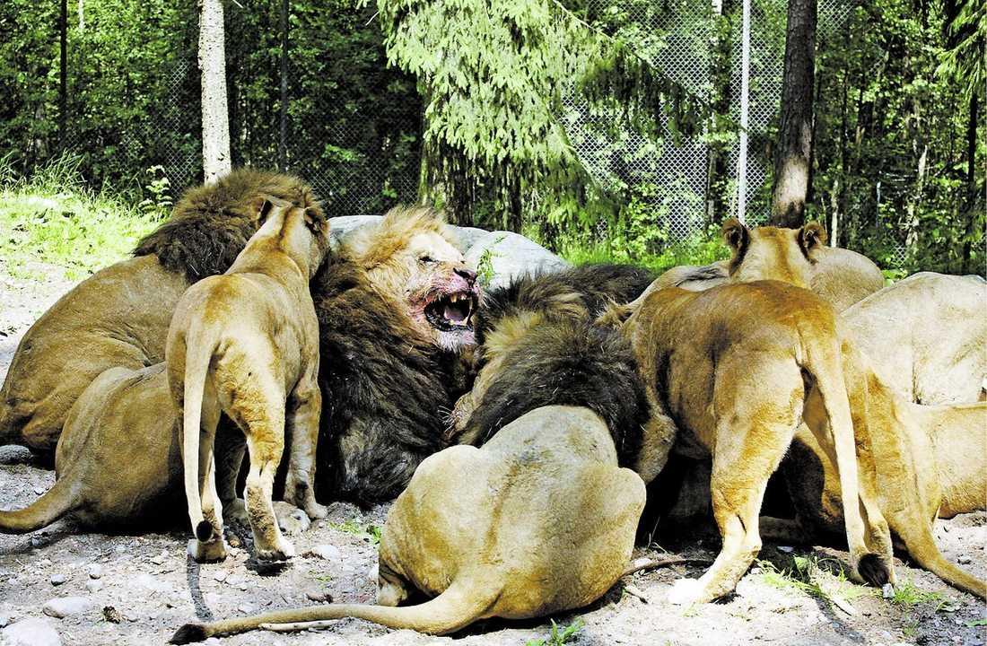 samsas om köttet Lejonen kastar sig snabbt över det färska köttet. Ett par av hannarna bråkar lite, men snart ligger lejonen lugnt runt köttet och äter sig mätta.