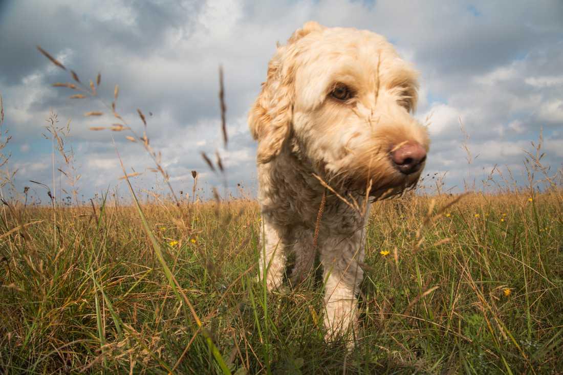 Fästingen bär på en paraist som kan vara dödlig för hundar.