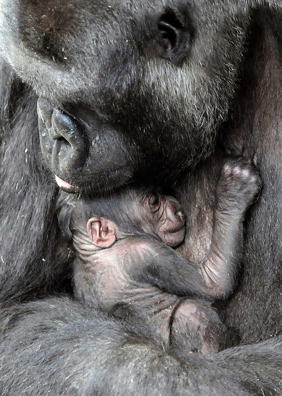 MODERSKÄRLEK En 18-årig gorillamamma gosar med sin nyfödda dotter på Brookfield Zoo i Brookfield, Illinois.
