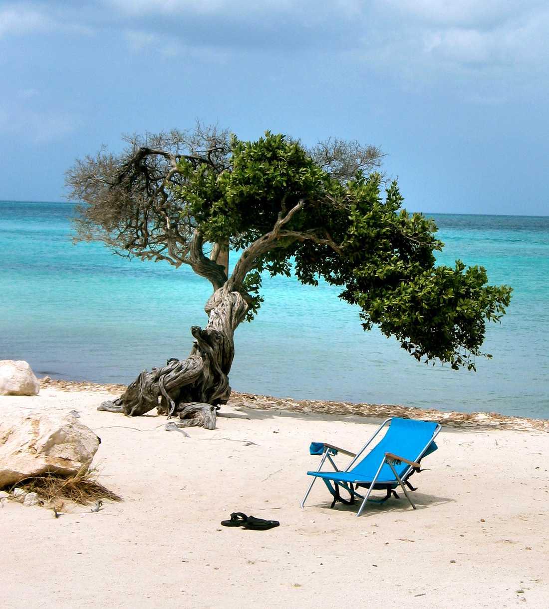 De lutande dividiviträden är typiska för ön.