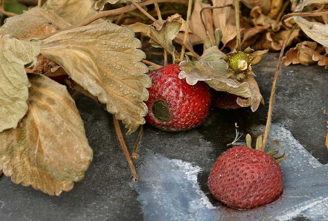 Ruttnande jordgubbar – ett problem även i Australien. Arkivbild.