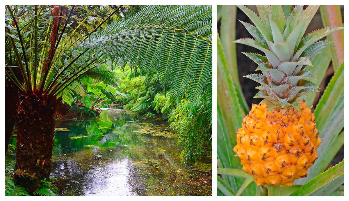 Exotiska trädormbunkar och söt ananas.