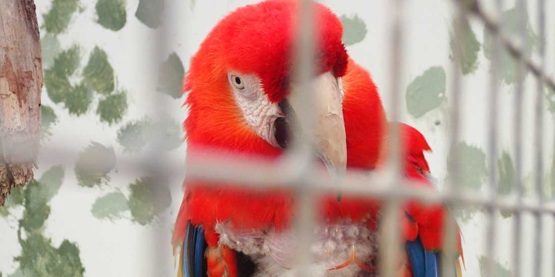 Douglas i sin bur på minizoo i Folkets park i Malmö i börjar av mars 2013. Då hade en mindre brand drabbat lokalerna. Jordbruksverket dömde senare ut Douglas bur. För att fågeln inte skulle avlivas valde ägaren att sälja Douglas till zoo i Tyskland.