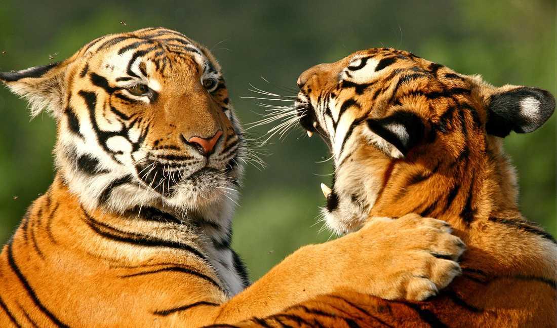 Sydkinesiska tigerungar.