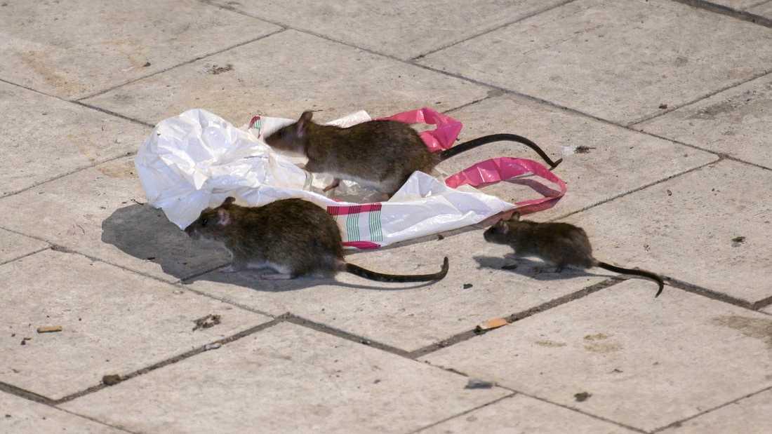Råttor letar efter mat på Sergels torg i Stockholm en vårnatt. Saneringsbolag gör allt fler utryckningar mot råttor, framförallt i städerna. Arkivbild.