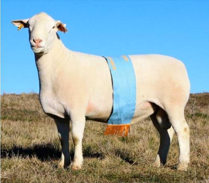 MONSTERFÅRET Dorper är en framkorsad fårras som ska ge mer kött på benen. Den har mindre ull för lättare skötsel – och den växer snabbt.