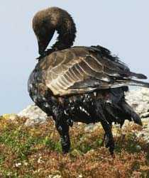 Stora räddningsinsatser görs för att sanera oljeskadade fåglar, men då flera tusen fåglar drabbats kommer många att gå en plågsam död till mötes.