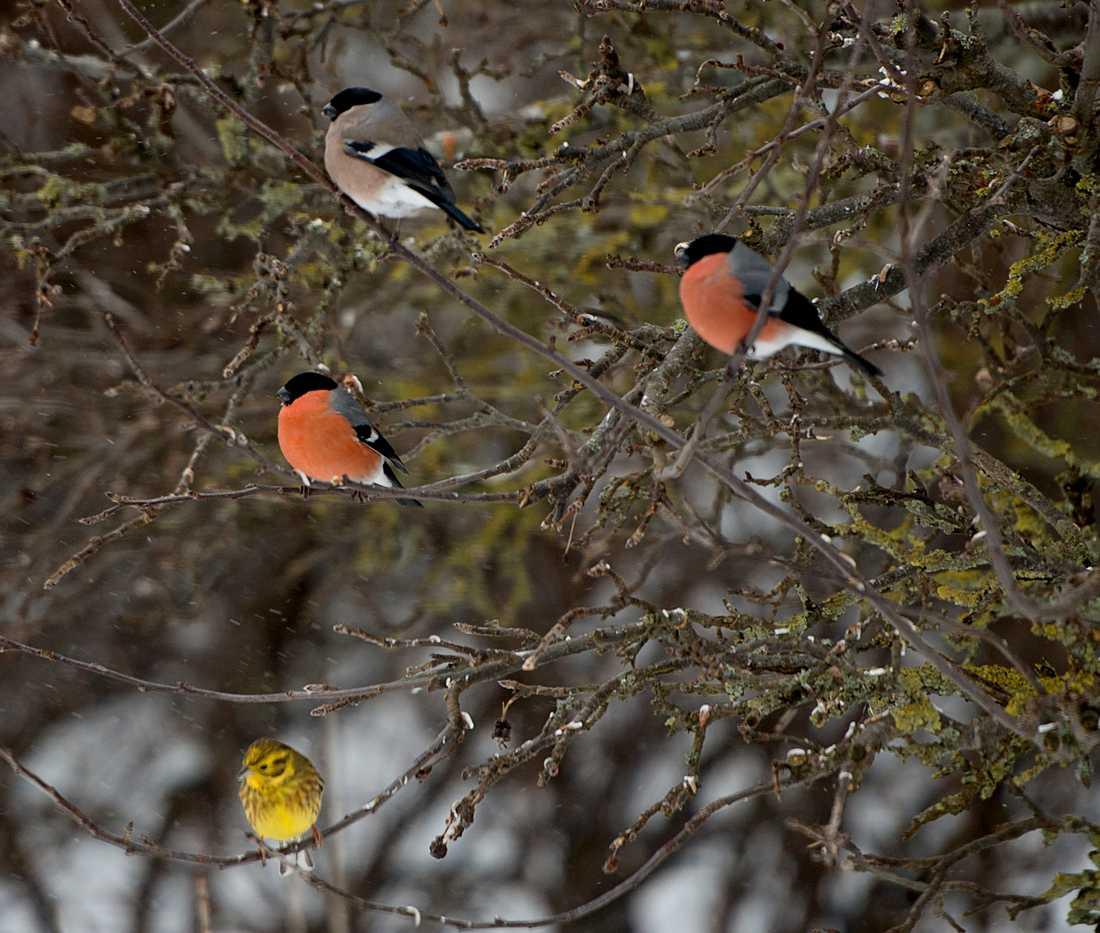 Domherrar och gulsparv i träd. Domherren är tätt förknippad med julkärven som den ofta avbildas med. Men egentligen är det få vinterfåglar som gillar havre. Domherren föredrar solros- eller hampfrö. Arkivbild.