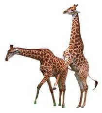 I en studie av giraffer ägde 94 procent av all sexuell aktivitet rum mellan hannar.