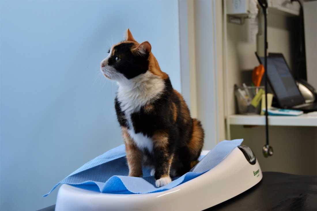 Selma försvann spårlöst från Gråbo utanför Göteborg i september. Nu har den fyraåriga katthonan återfunnits – på Åland.